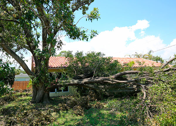 Branches Are Injured Or Falling Off